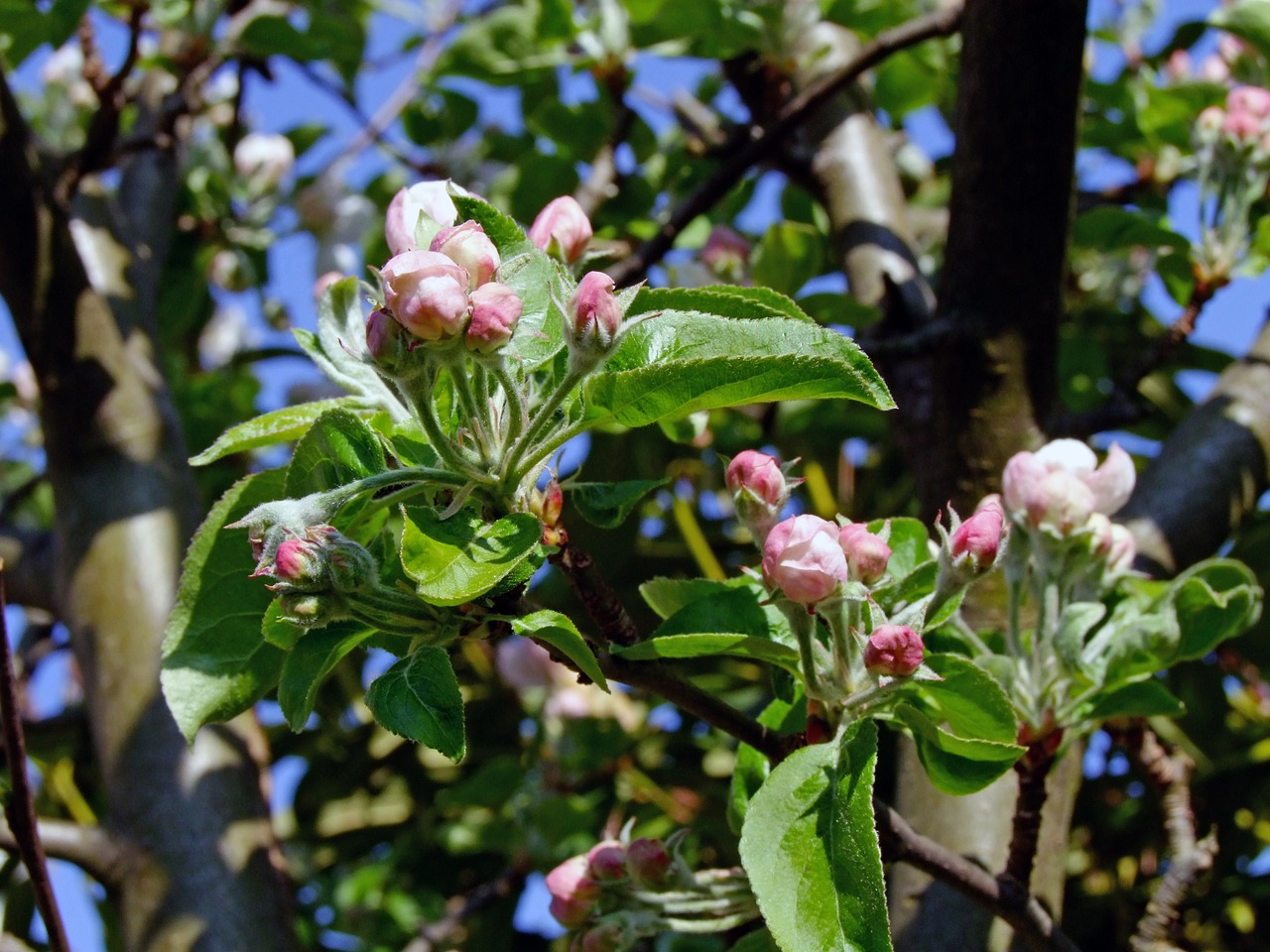 branch apple blossom bud free photo