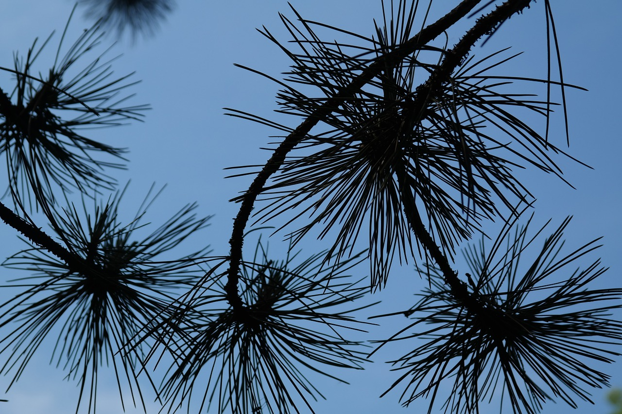 branch pine needles needles free photo