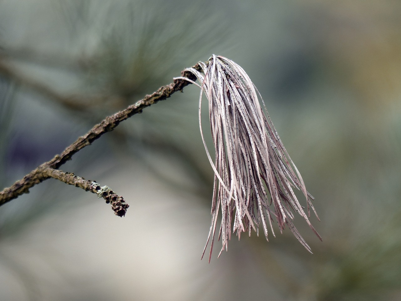 branch pine needles free photo