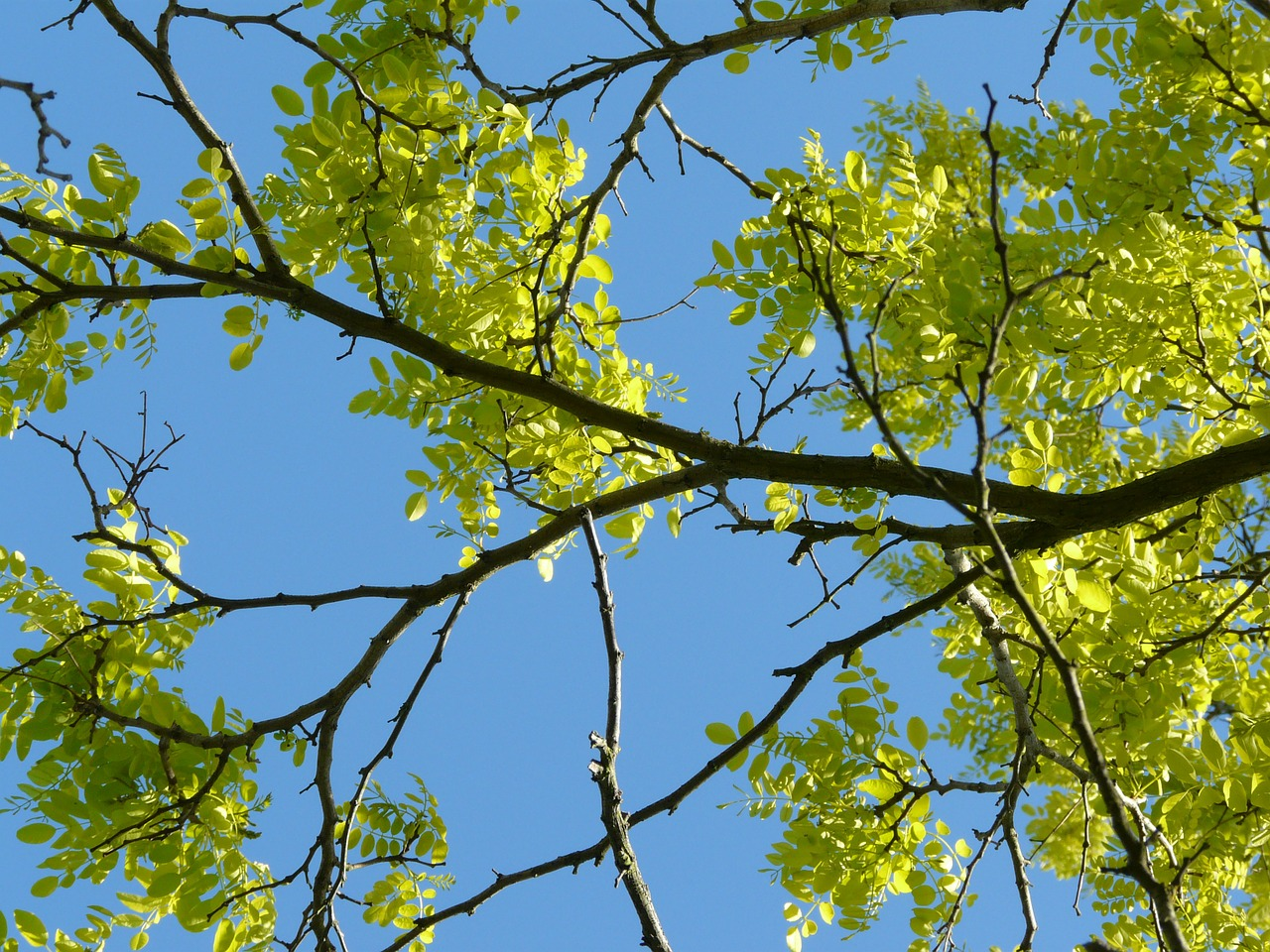 branches robinia spring free photo