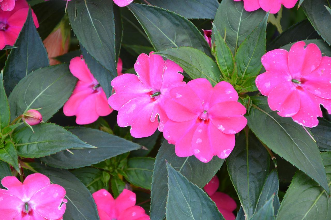 Bright Pink Flowersmassifparterresummer Flowersplant Free