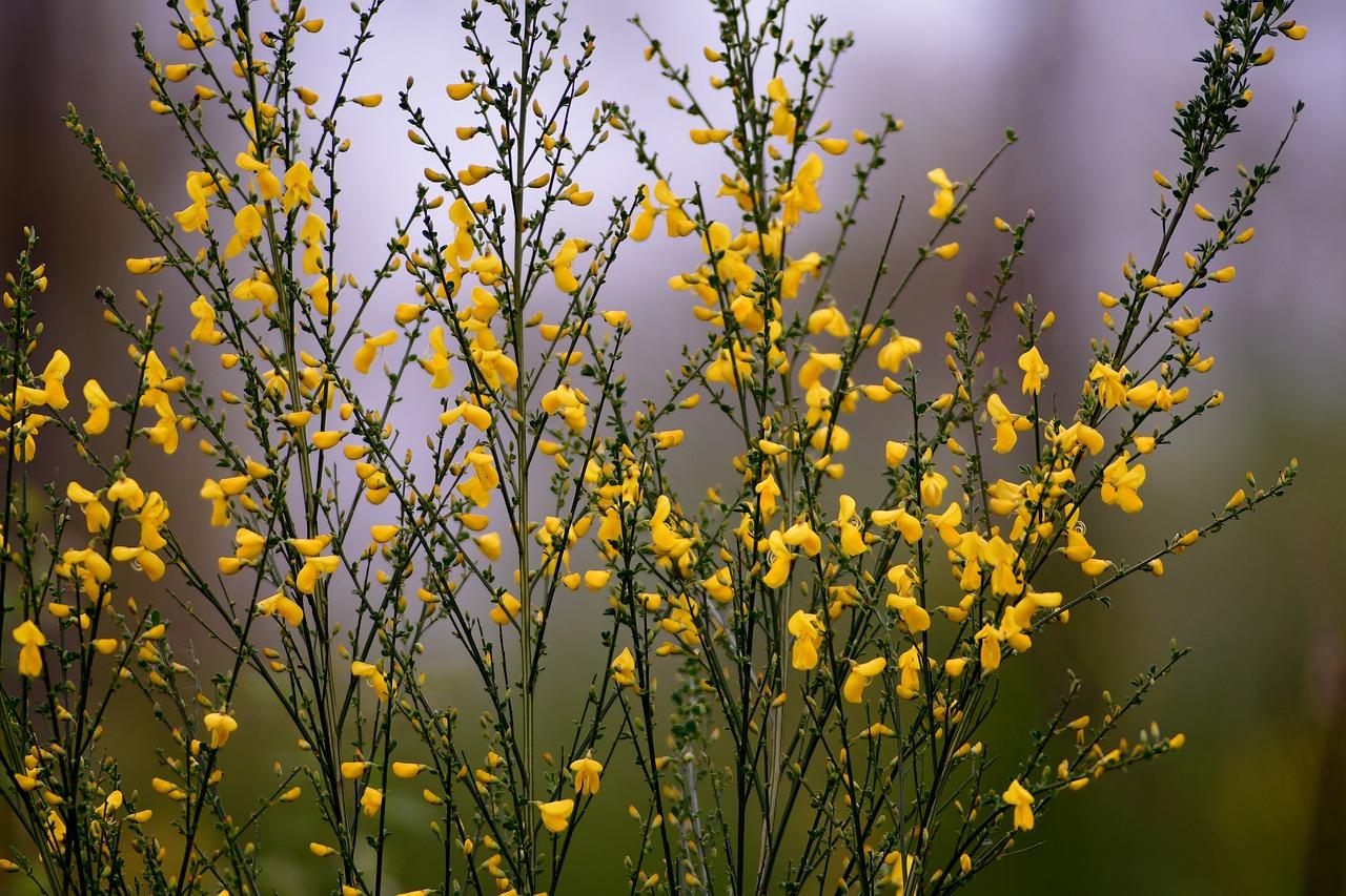 Broom Bush Bloom Yellow Flowers Free Image From Needpix Com