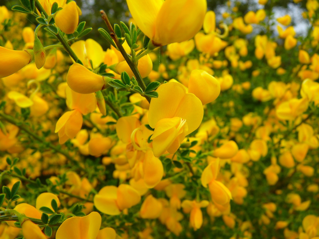 broom flower yellow free photo