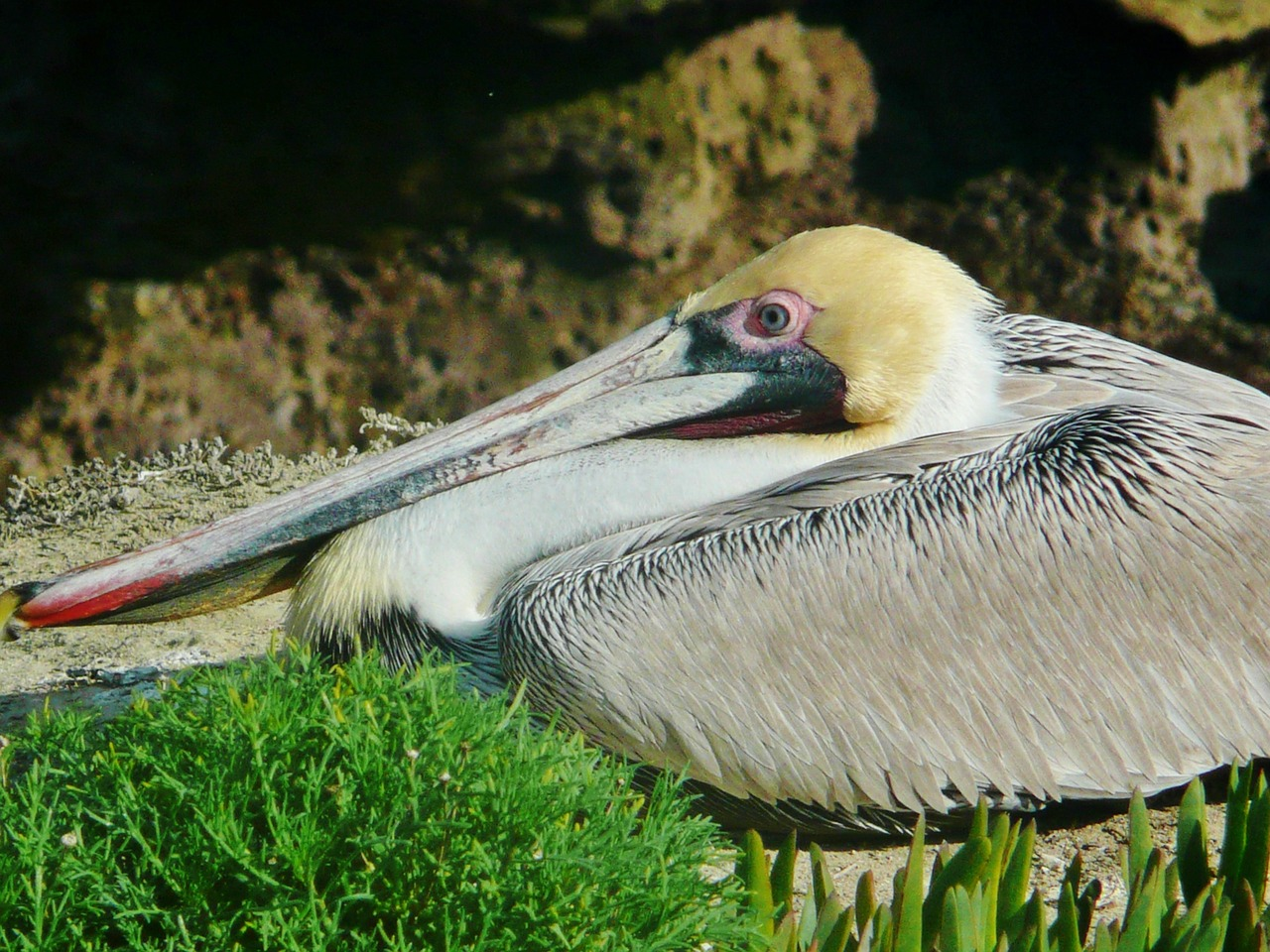 brown pelican san diego free photo