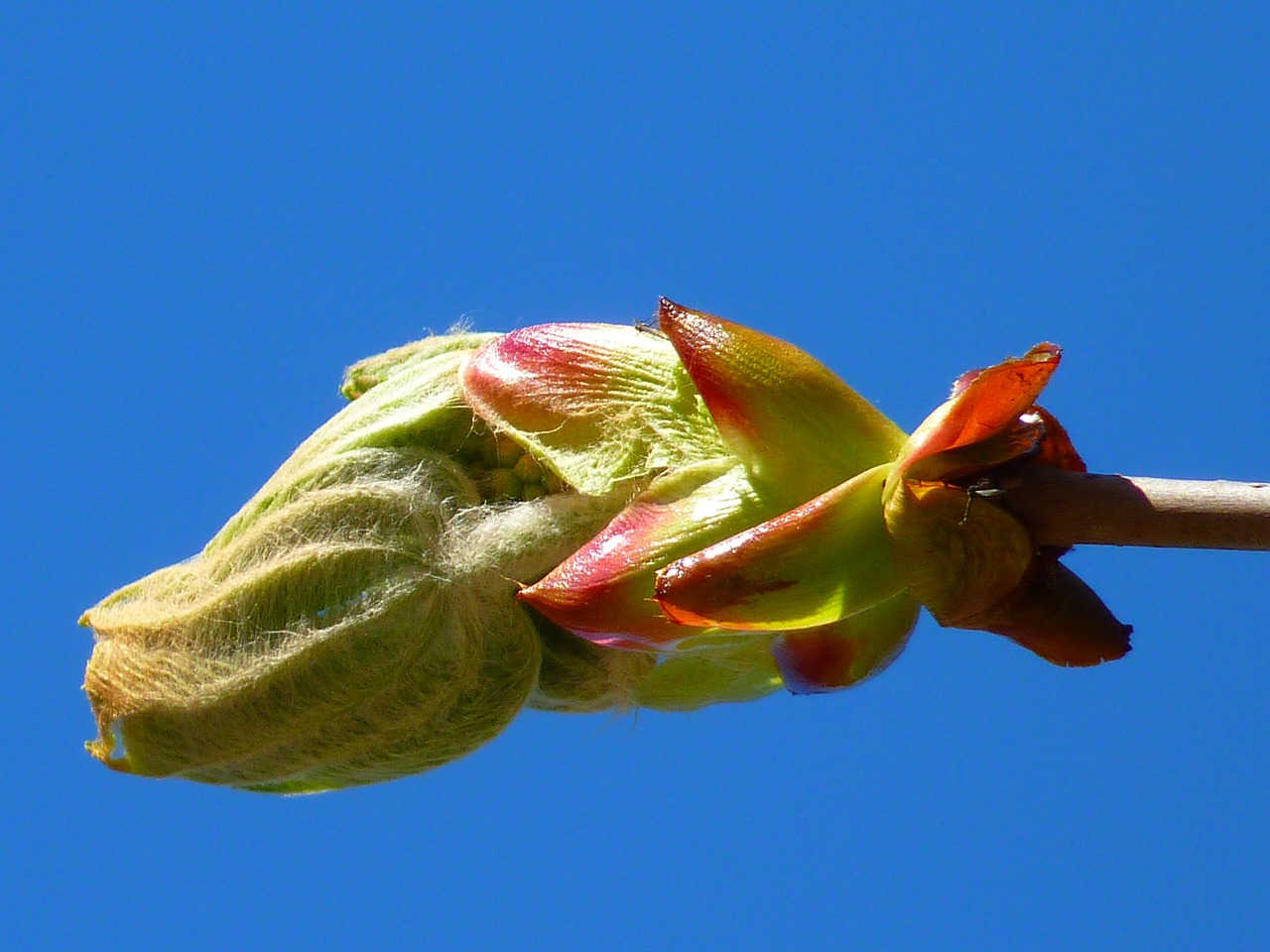 bud chestnut chestnut bud free photo