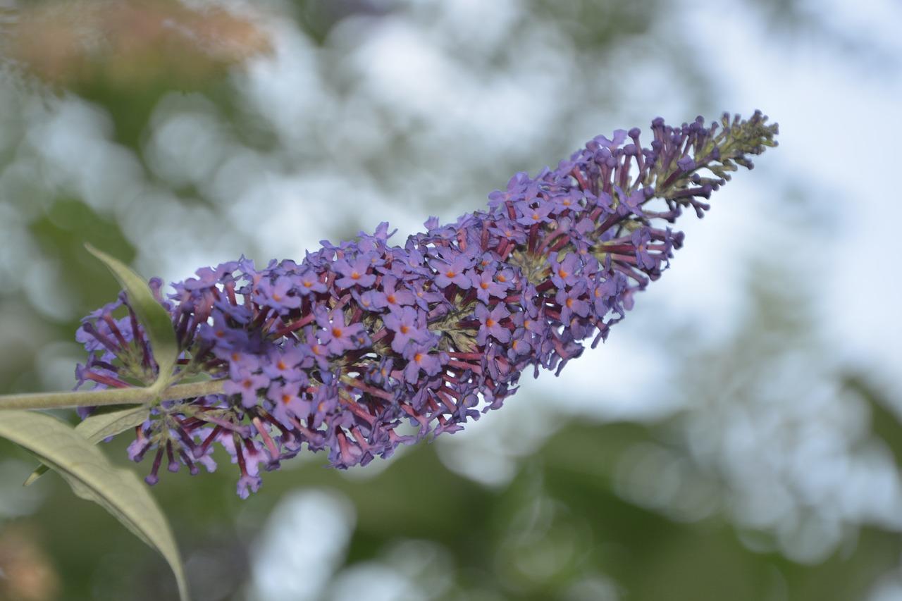 Buddleiabutterflypurplevioletsmall Flowers Free Photo From