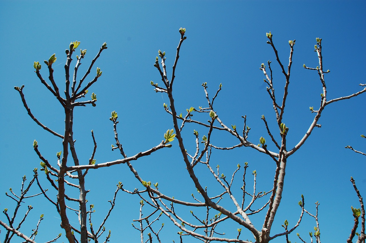 buds,branch,tree,spring,nature,free pictures, free photos, free images, royalty free, free illustrations, public domain