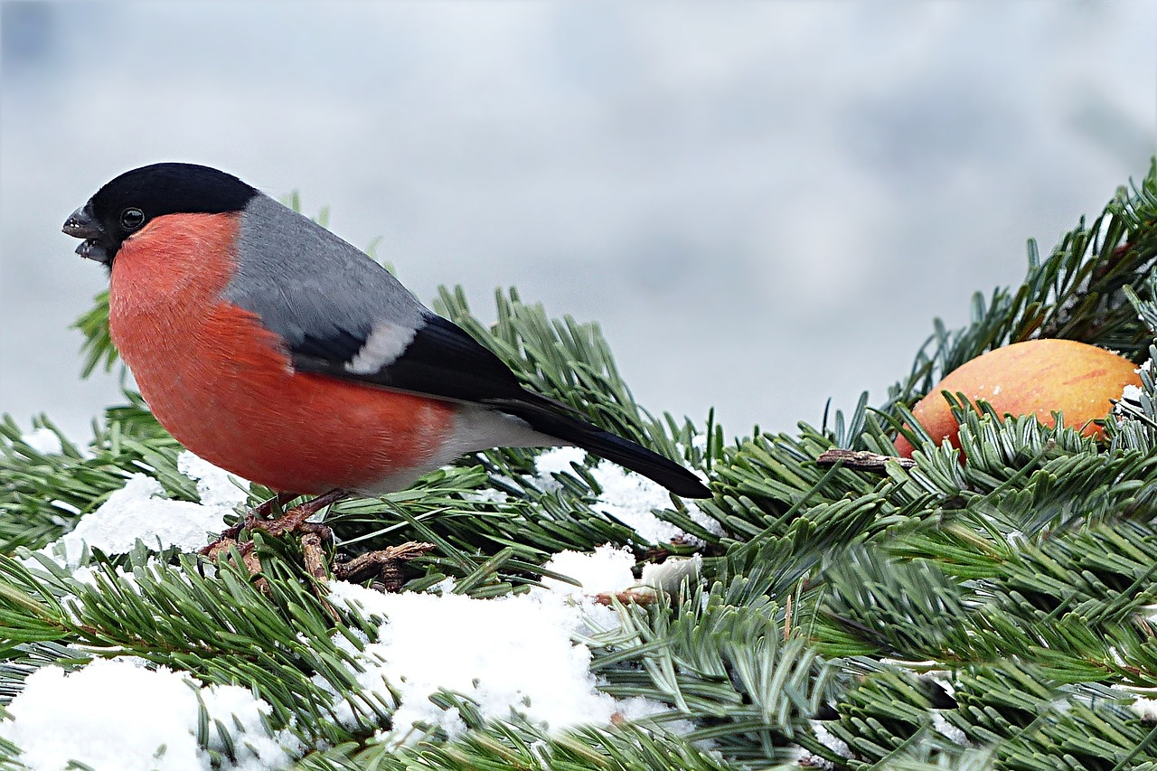bullfinch gimpel pyrrhula free photo