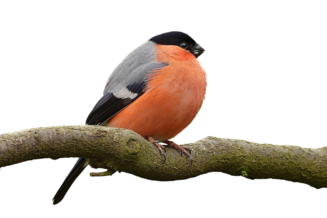bullfinch pyrrhula bird free photo