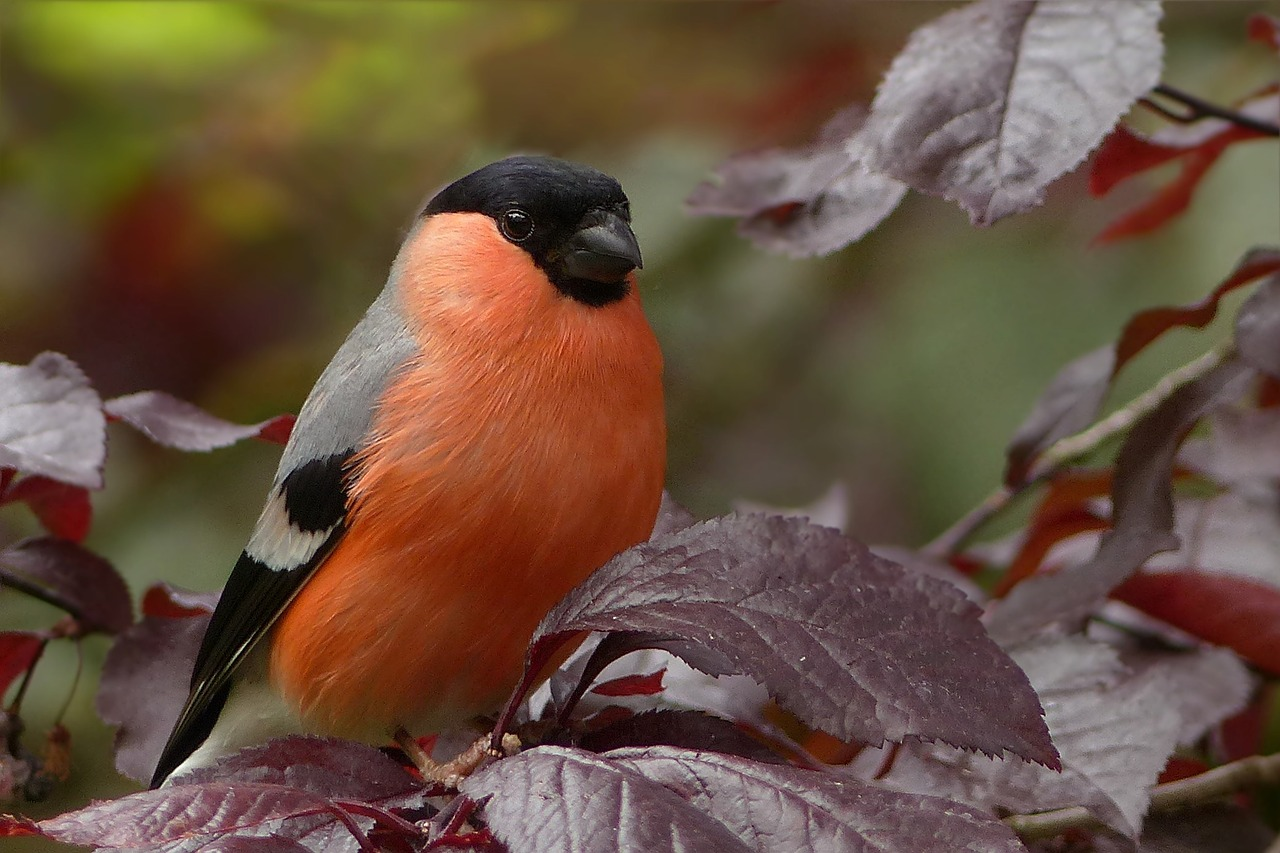 bullfinch,bird,sitting,tree,garden,free pictures, free photos, free images, royalty free, free illustrations, public domain