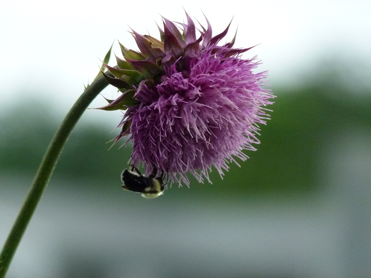bumble bee,bee,bumble,thistle,milk thistle,insect,flower,pollination,bumble-bee,honey,free pictures, free photos, free images, royalty free, free illustrations, public domain
