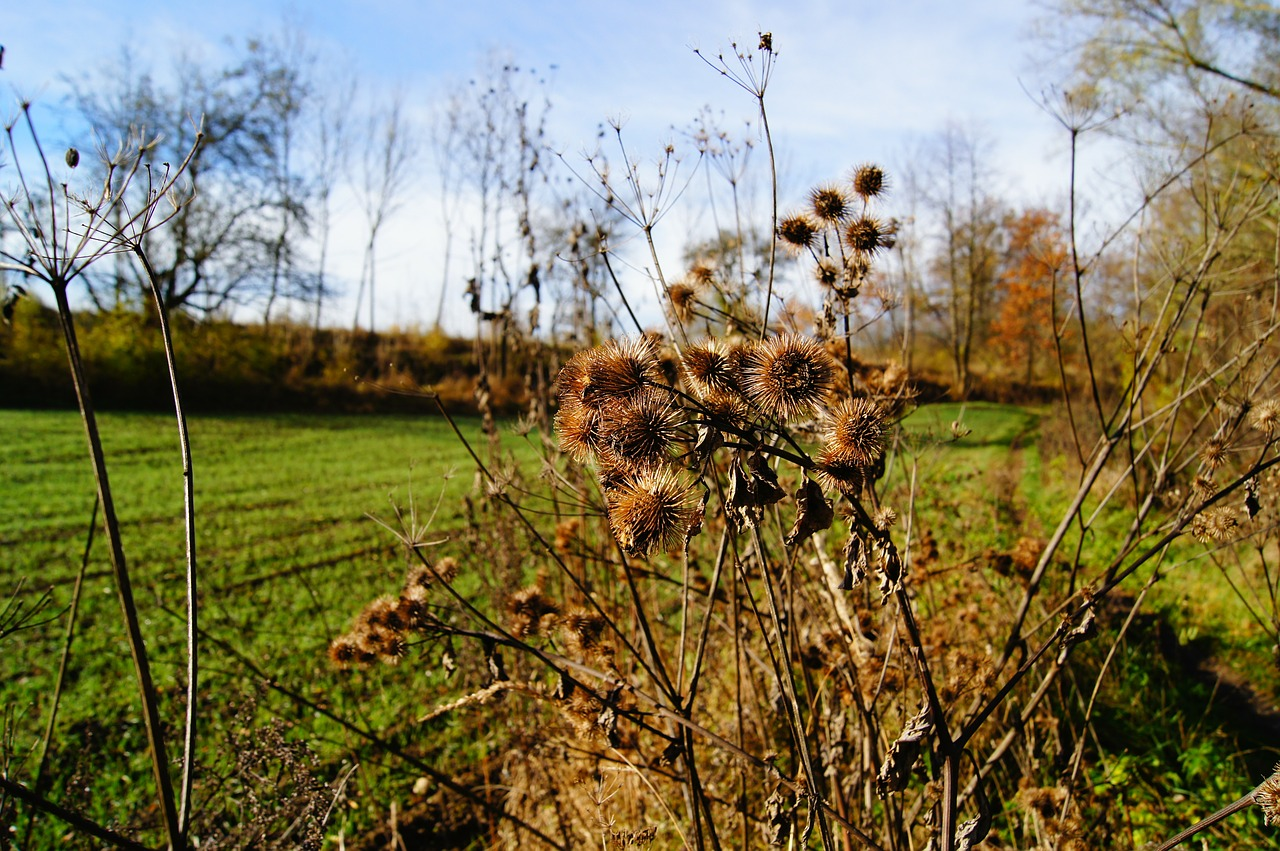 burdock thistle plant free photo