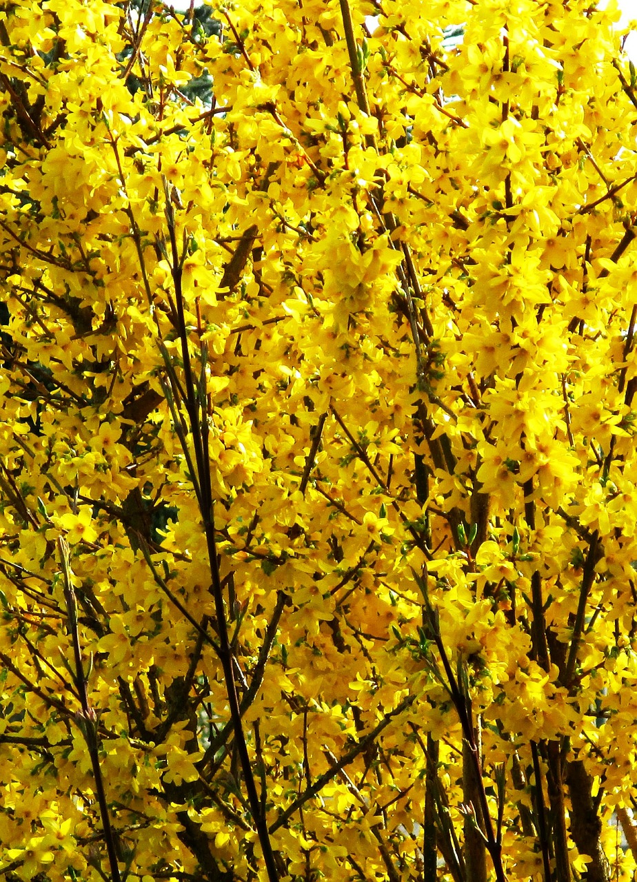 bush forsythia flowers free photo