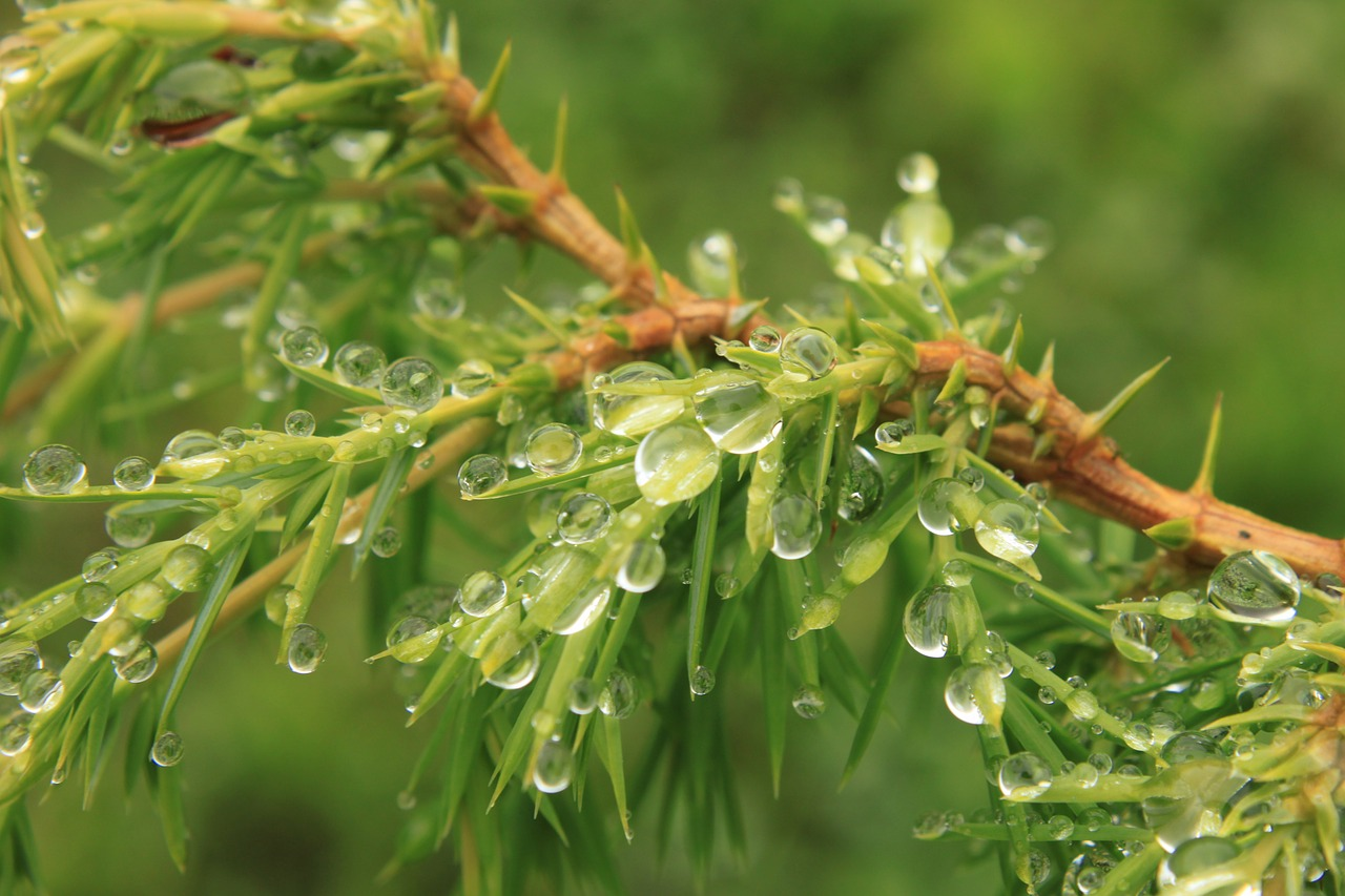 bush coniferous drops free photo