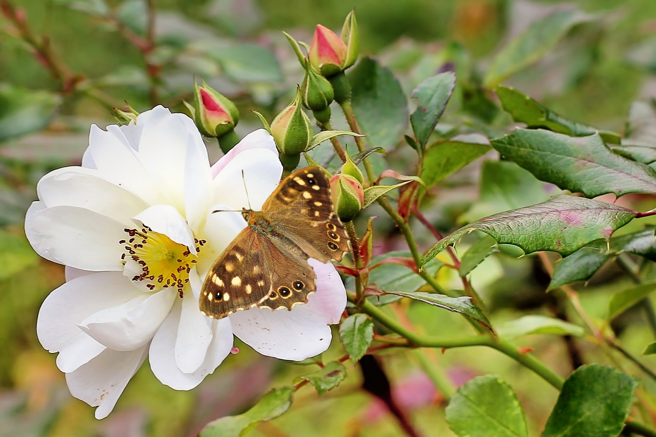 bush rose white insect free photo