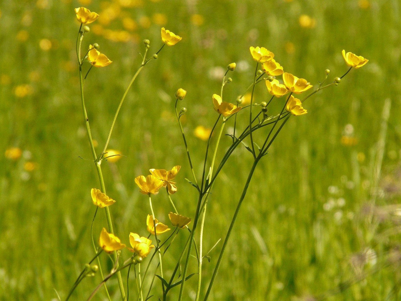 buttercup meadow pointed flower free photo