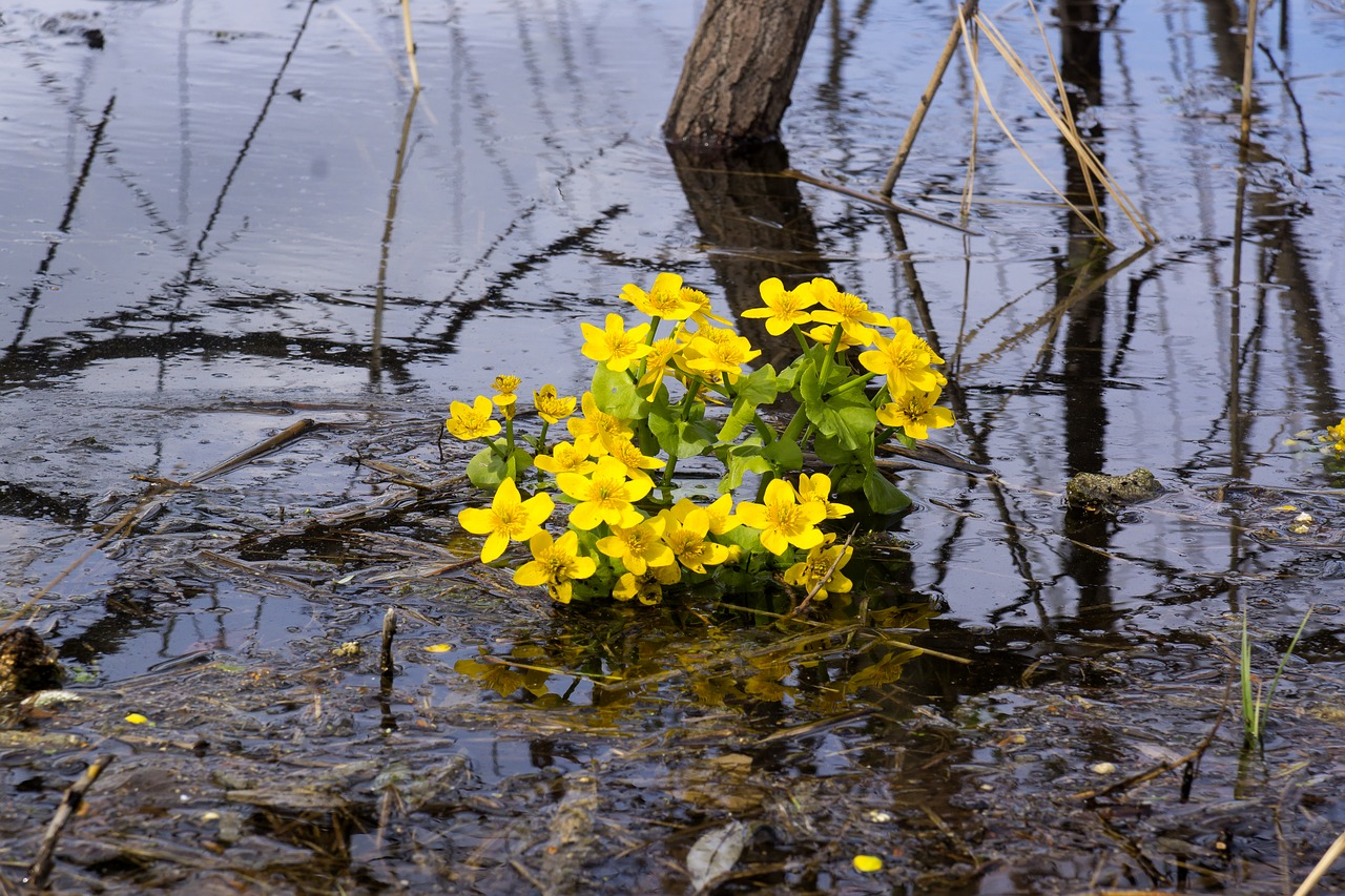 buttercups water,yellow,flowers,plant,closeup,bloom,spring,beautiful flower,swamp flower,siberia,wildlife,free pictures, free photos, free images, royalty free, free illustrations