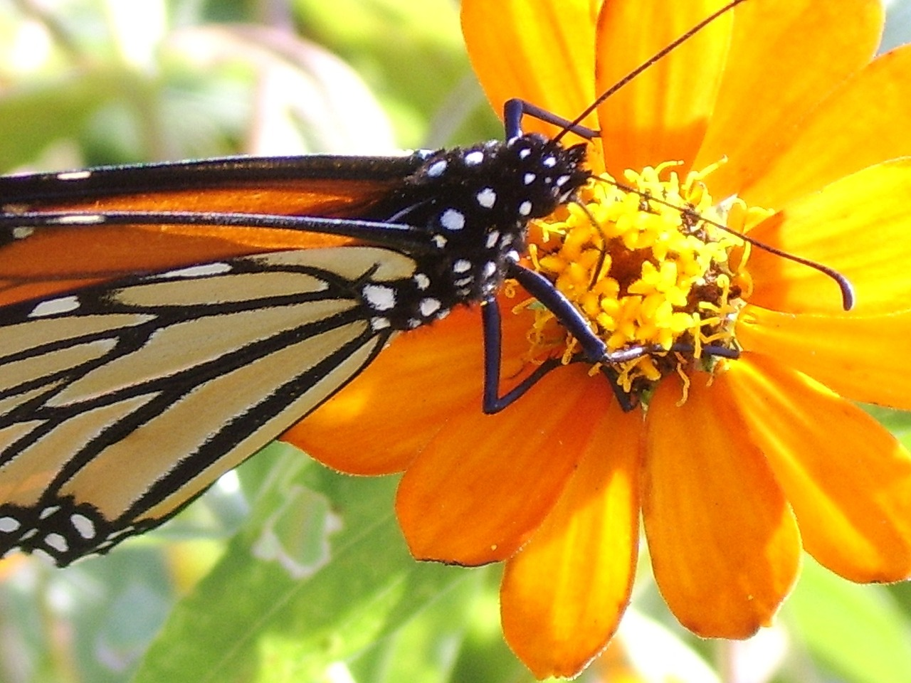 butterfly monarch insect free photo