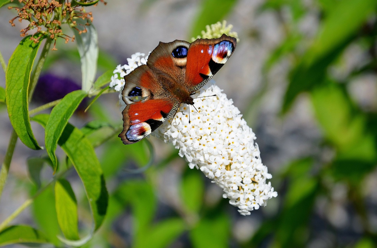 butterfly red admiral free photo
