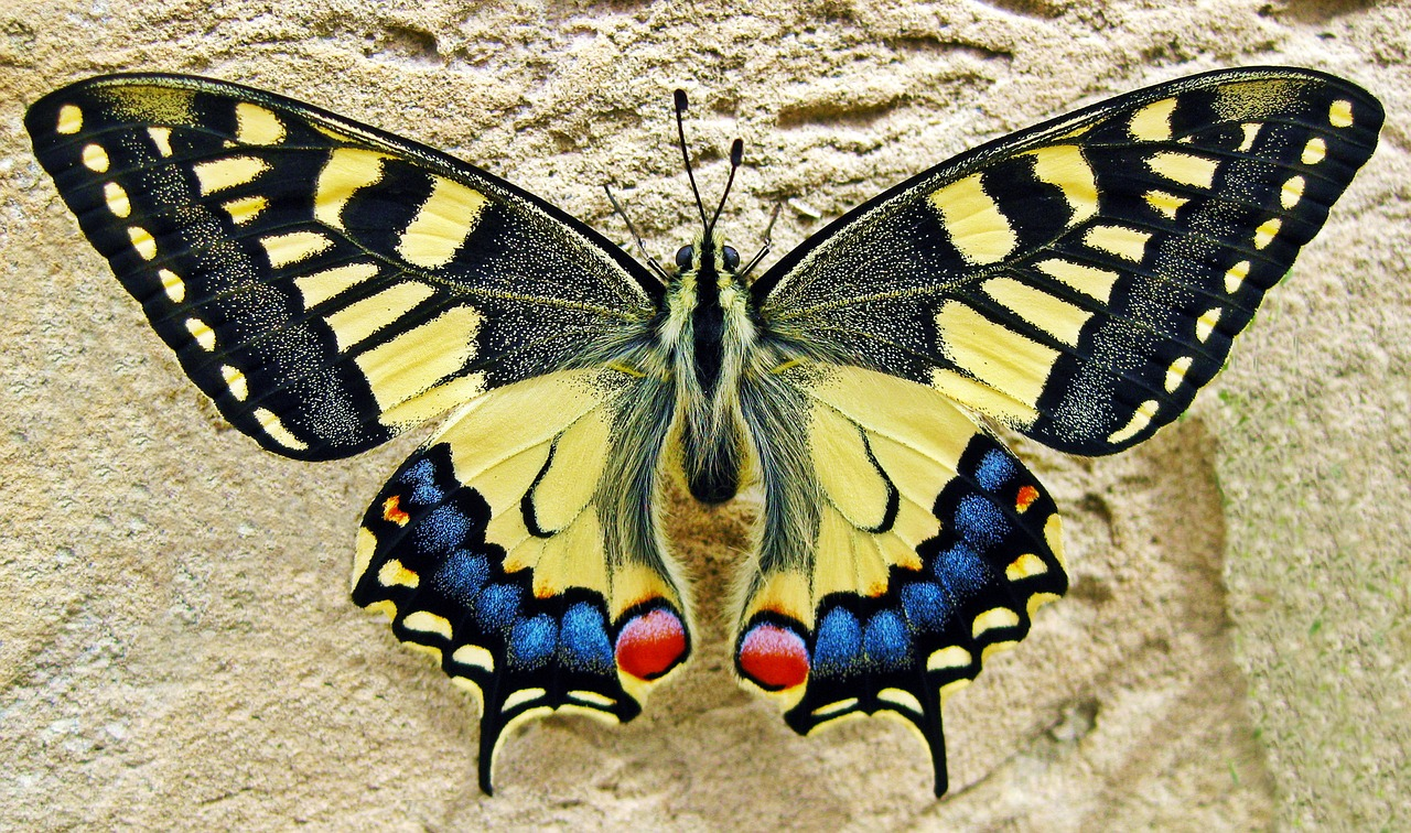 butterfly swallow tailed butterfly insect free photo