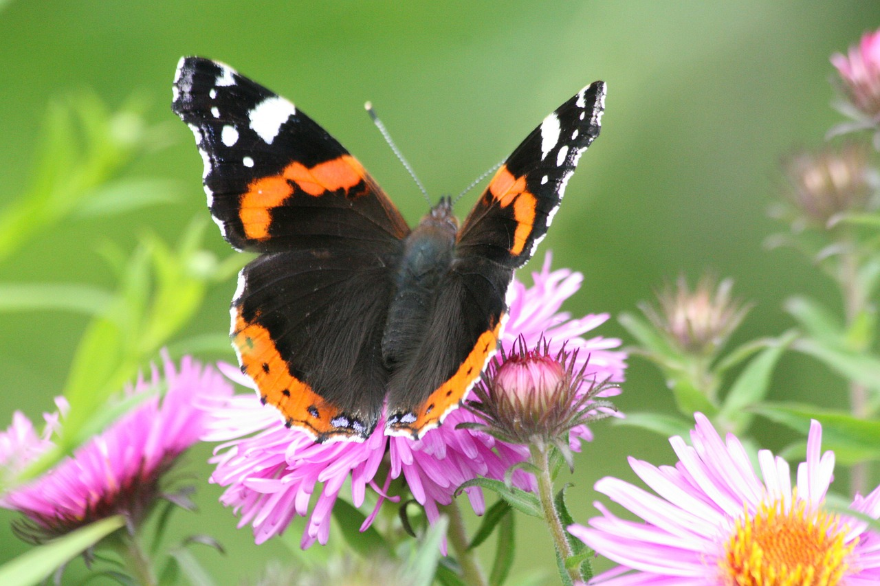 butterfly admiral red admiral free photo