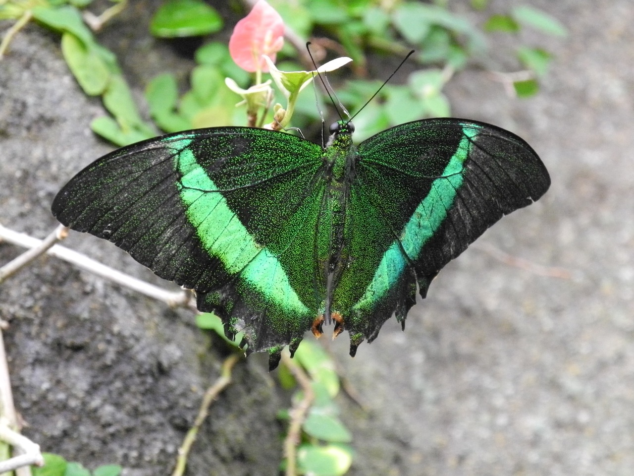 butterfly green exotic free photo