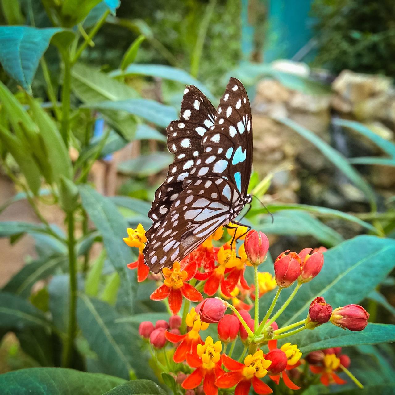 Asclepias Galeryrosa, Butterfly Weed, Milkweed