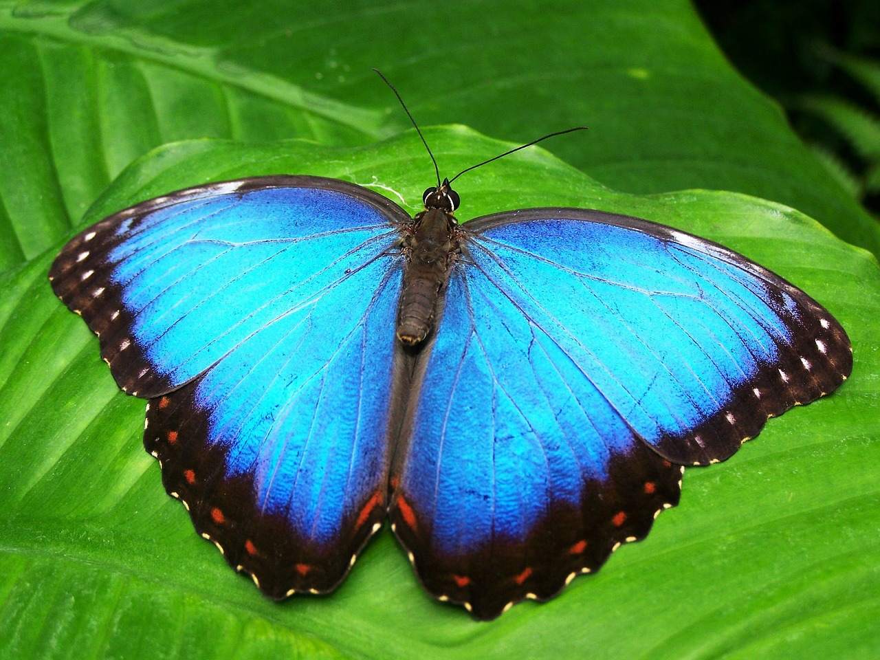 butterfly blue insect free photo