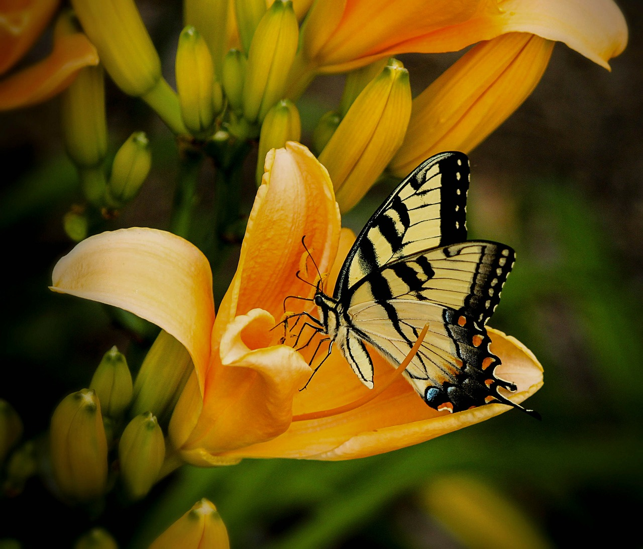 butterfly swallowtail papilio free photo