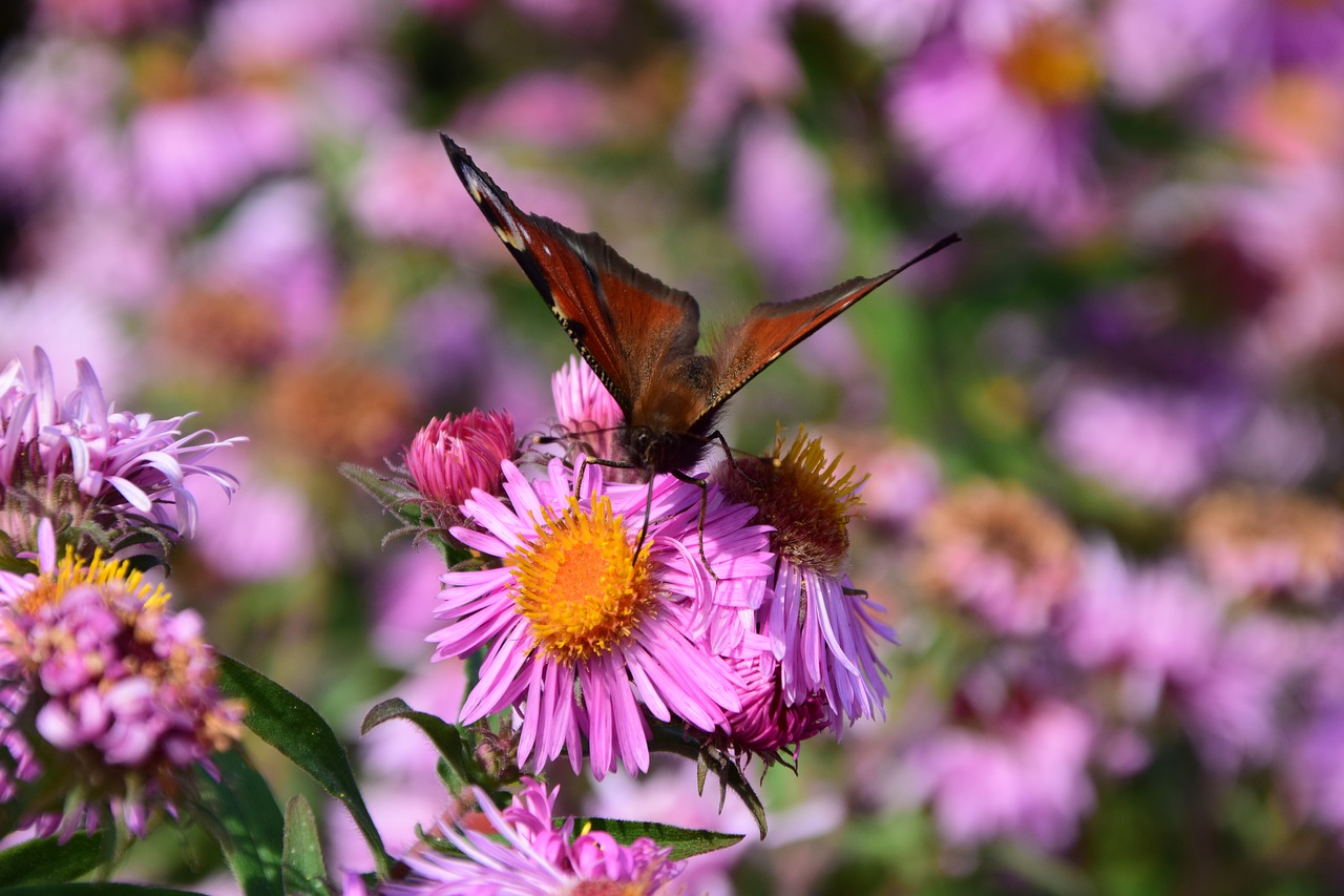 aster butterfly blossom free photo
