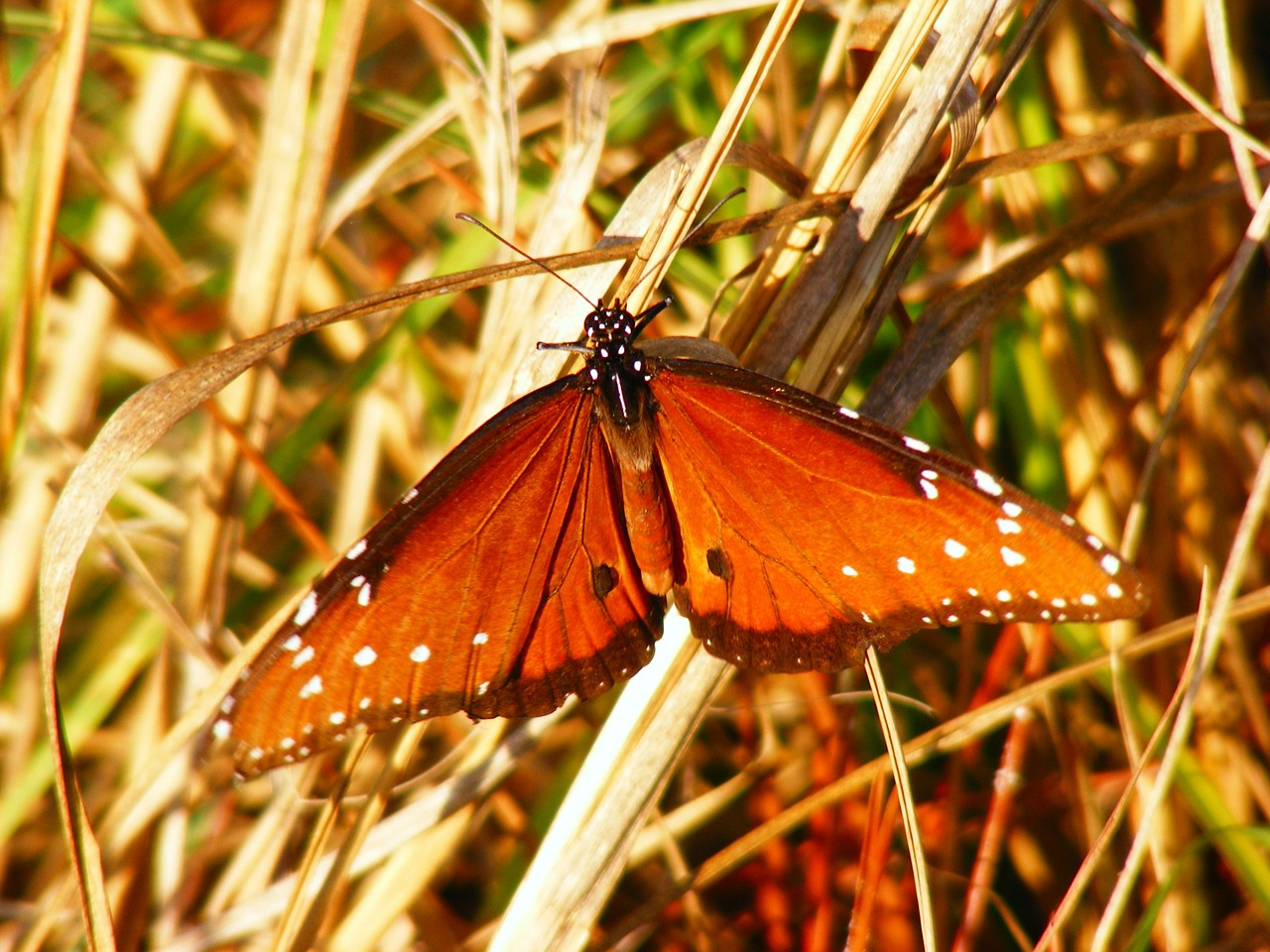 butterfly insects animal free photo