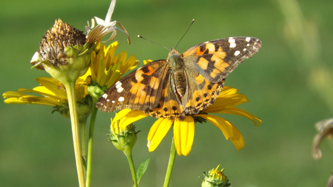 butterfly yellow daisy animal free photo
