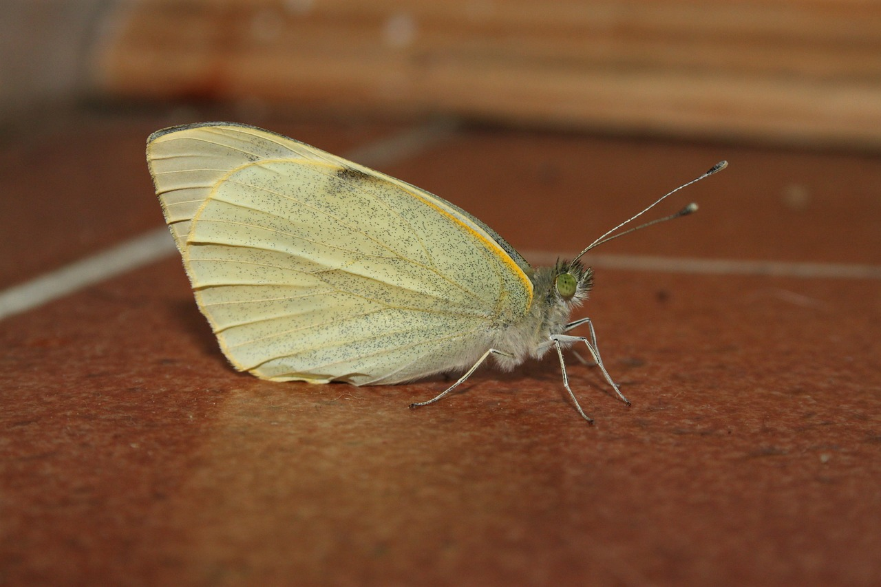butterfly white yellow free photo