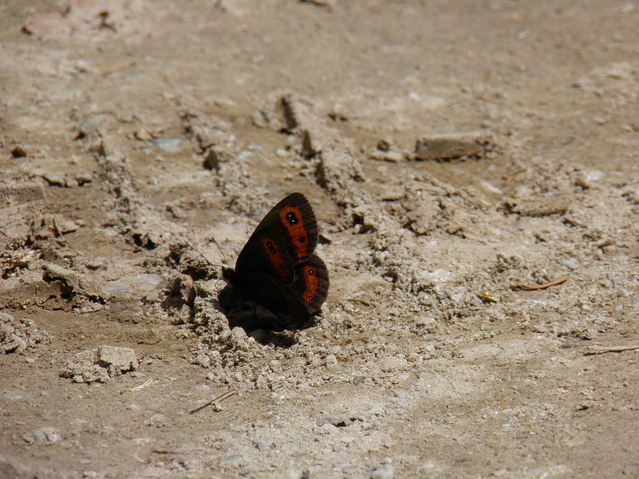 butterfly butterflies sand free photo