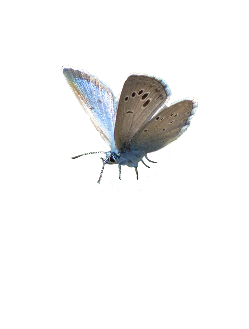 butterfly blue blue butterfly free photo