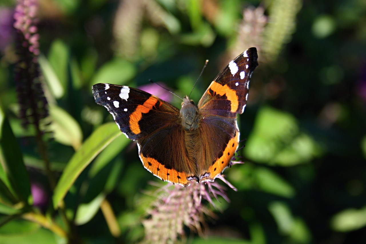 butterfly vanessa atalanta red admiral free photo