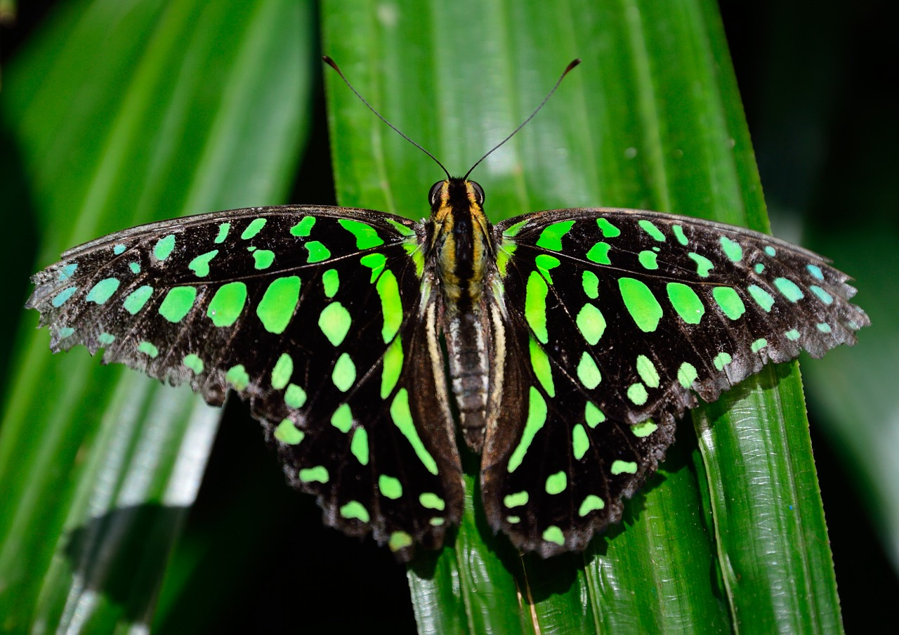 butterfly spotted wings free photo