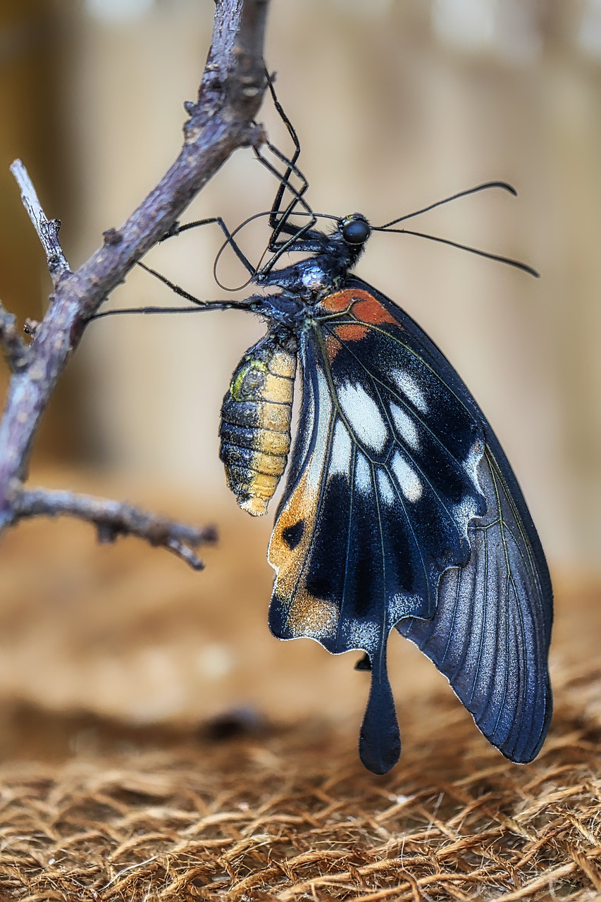 butterfly  insect  nature free photo