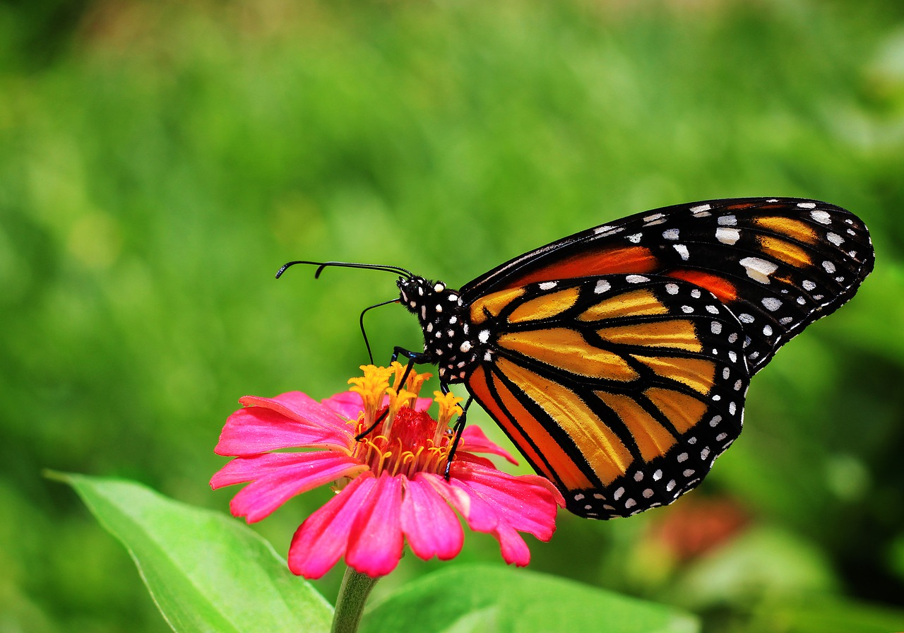 Butterfly, garden, flowers, nature, insects , free image