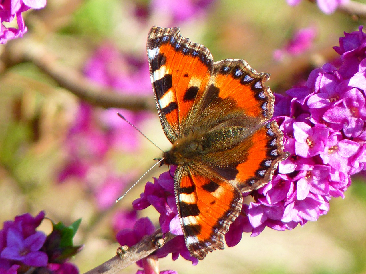 butterfly little fox aglais urticae free photo