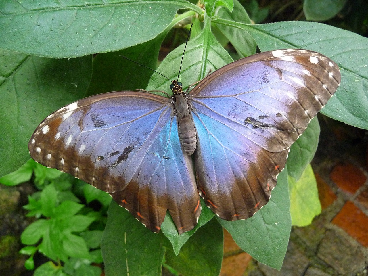butterfly,butterfly house mainau,blue,free pictures, free photos, free images, royalty free, free illustrations, public domain