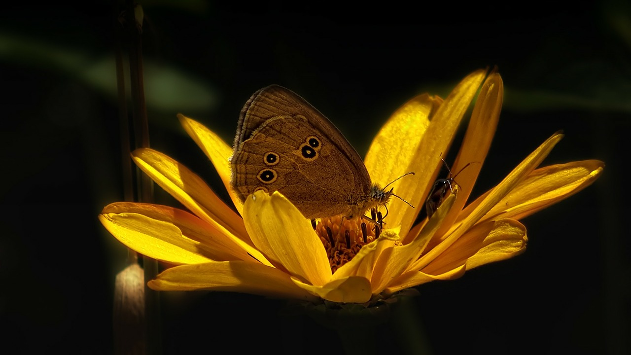 butterfly flower insect free photo