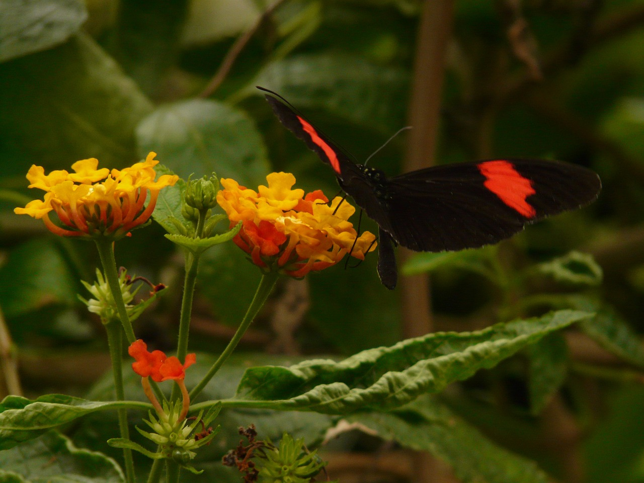 butterfly small postbote heliconius erato free photo