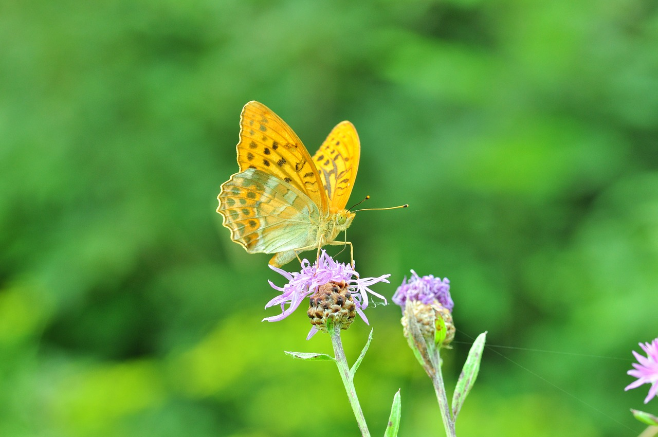 butterfly fritillary thistle flower free photo