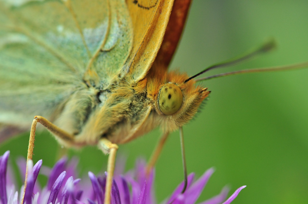 butterfly fritillary macro free photo