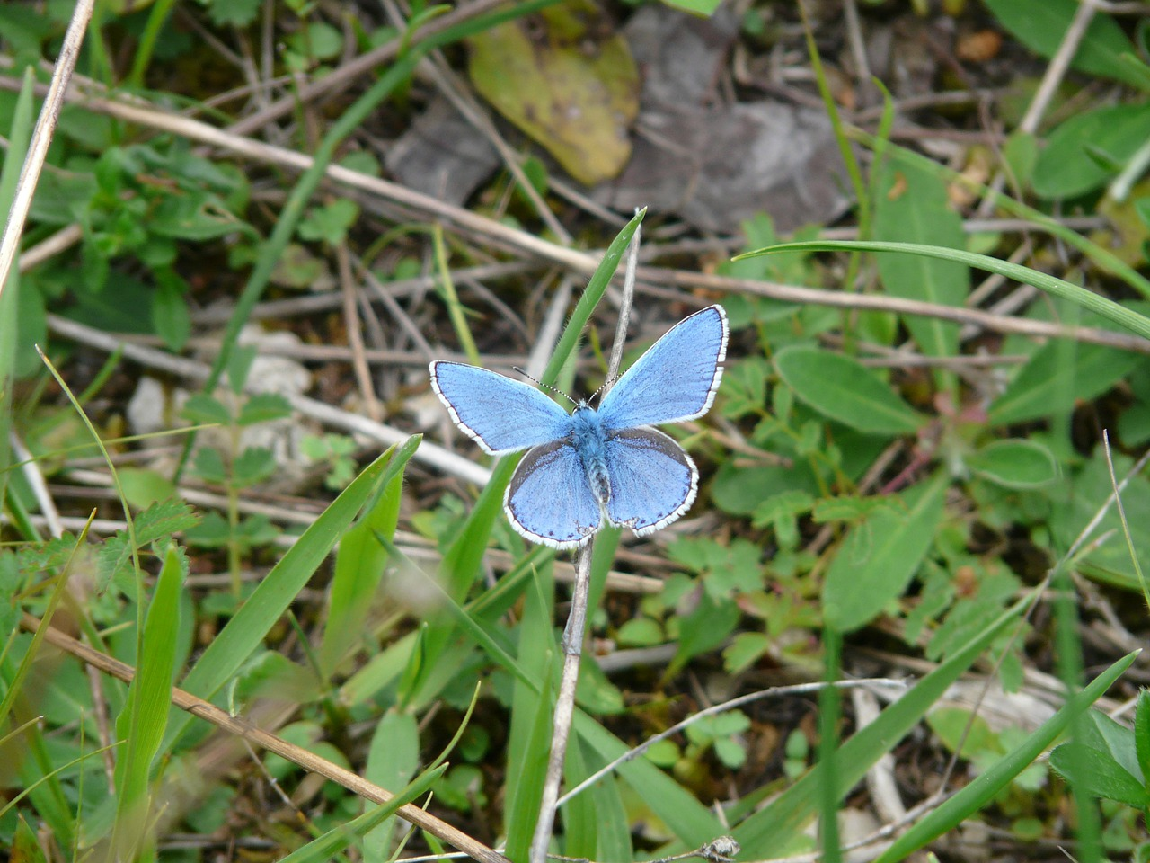 butterfly butterflies common blue free picture