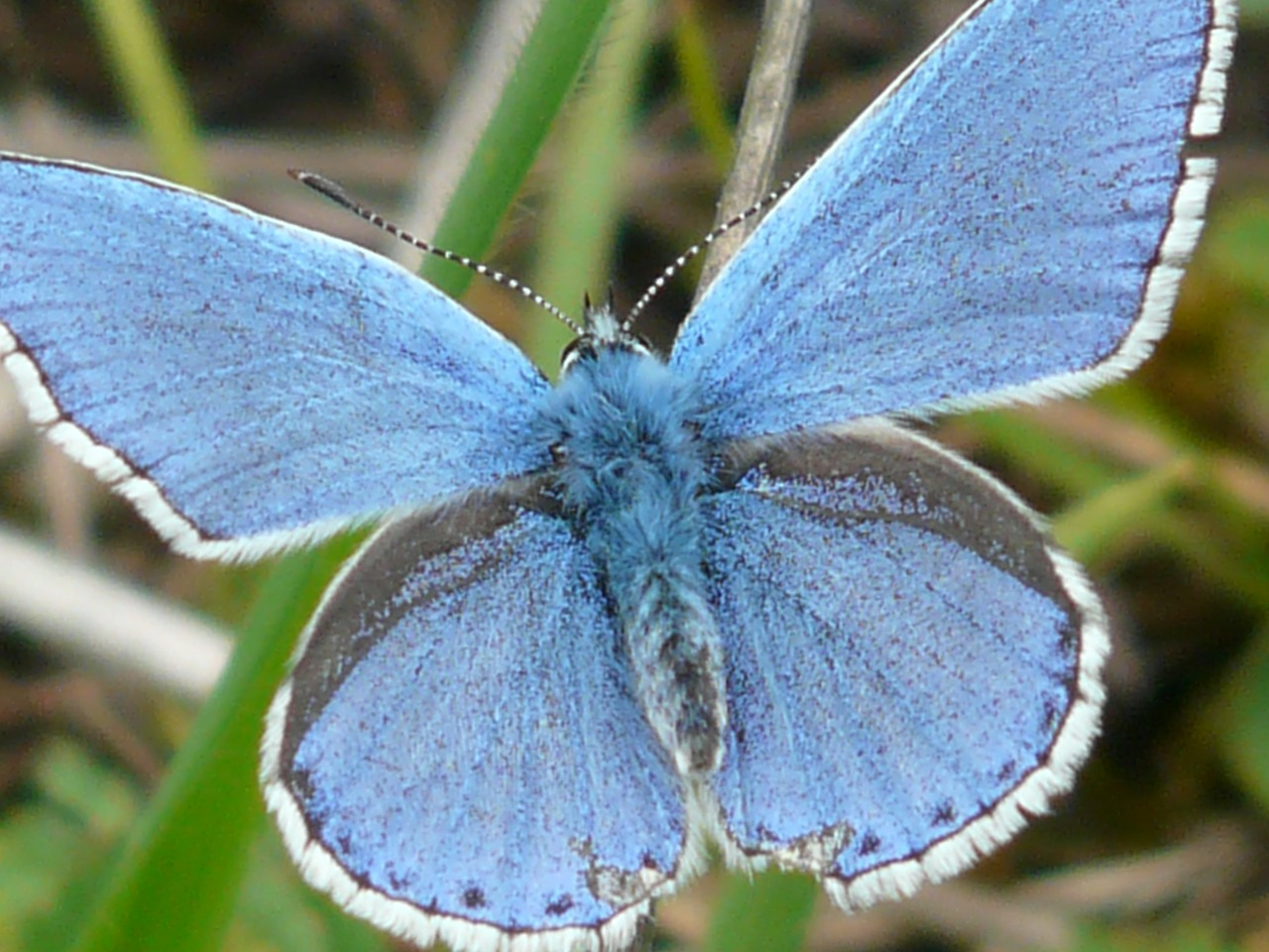 butterfly butterflies common blue free photo