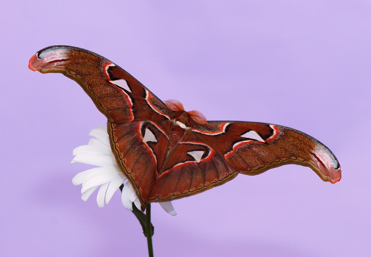 butterfly atlas moth moth free photo