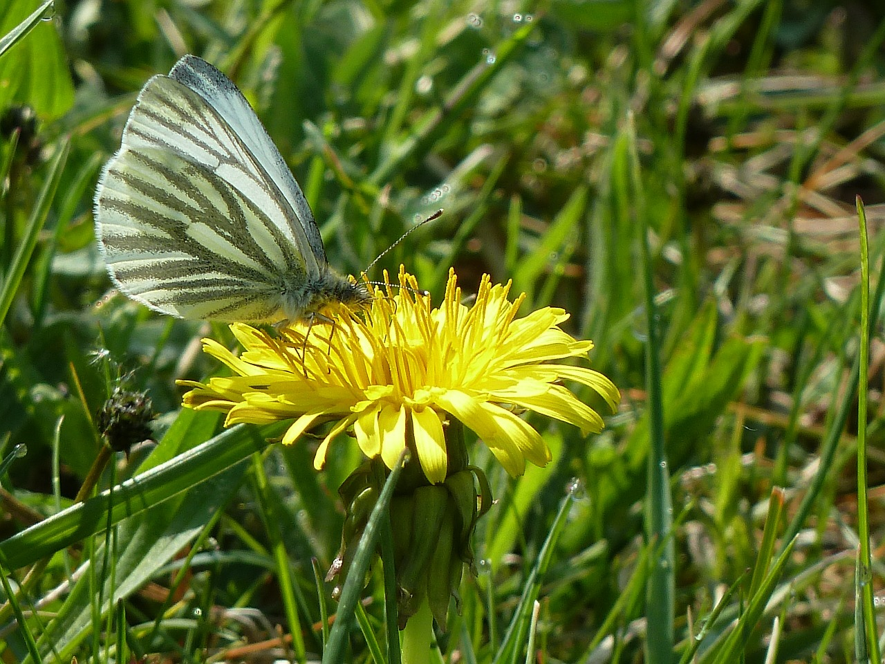 butterfly,dandelion,collect nectar,spring,free pictures, free photos, free images, royalty free, free illustrations