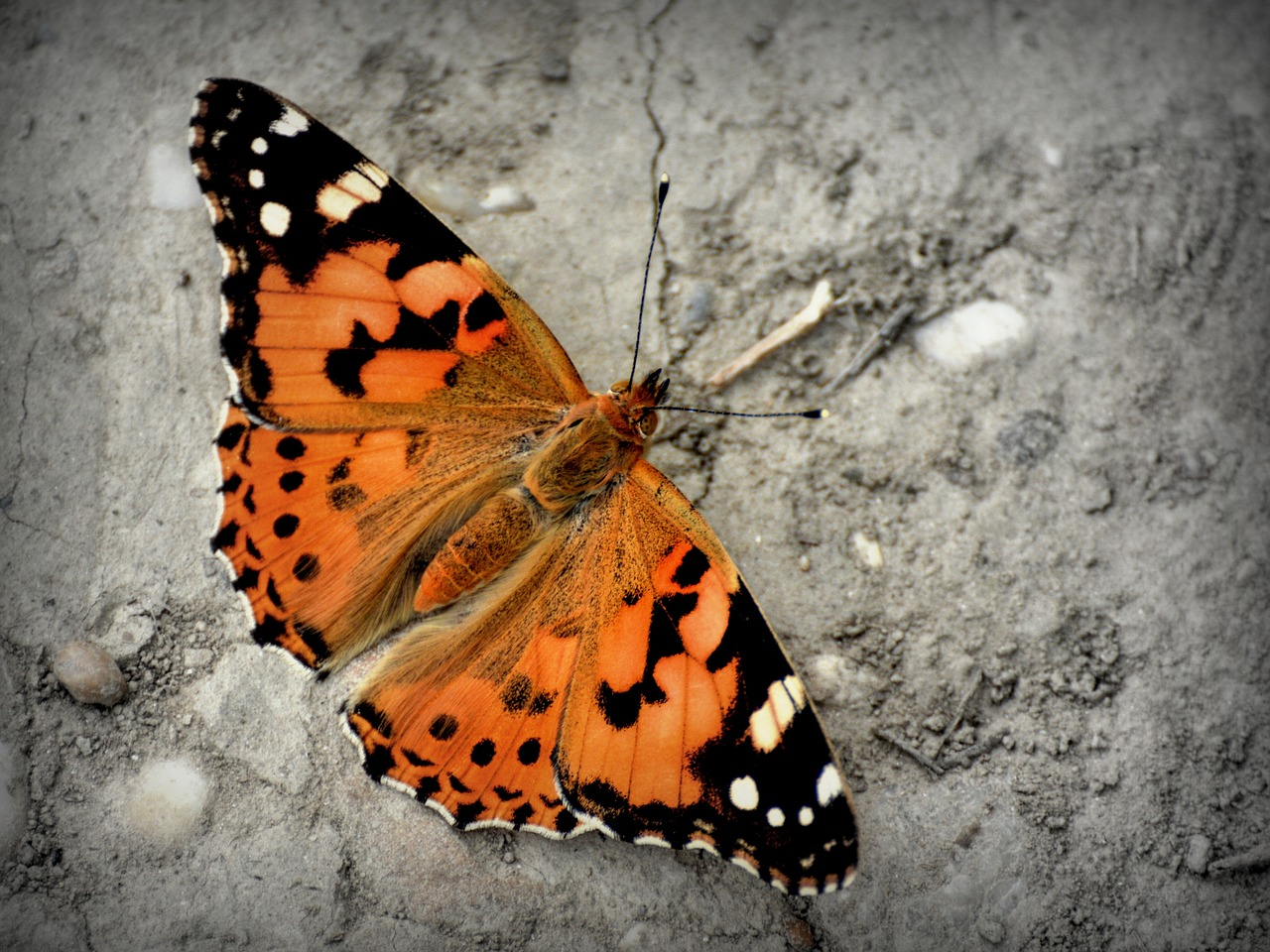 butterfly admiral butterfly vanessa atalanta free photo